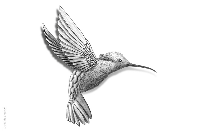 Illustration Dessin Animal Colibri 001